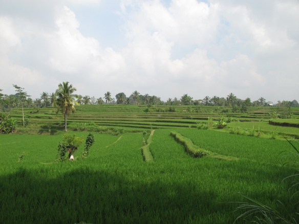 Ubud is famous for terraced rice fields