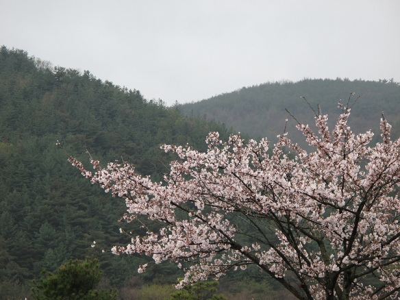 Cherry blossoms are distinctly Asian, and one of the things we're going to miss about springtime in Korea, for sure.