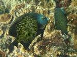 The Bahamas - French Angelfish