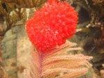 The Bahamas - Painted Tunicates